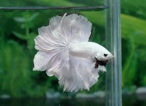 Feathertail Betta Betta Splendens Wiki Fandom Powered