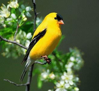 American Goldfinch | Birds Wiki | Fandom powered by Wikia