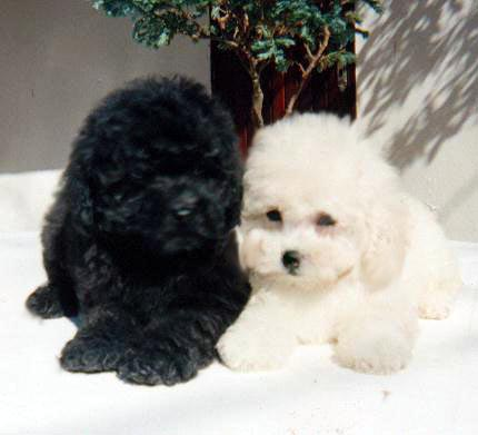 Ficheiro:Poodle toy bebe.jpg
