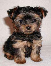 Yorkshire terrier pups 03a.jpg