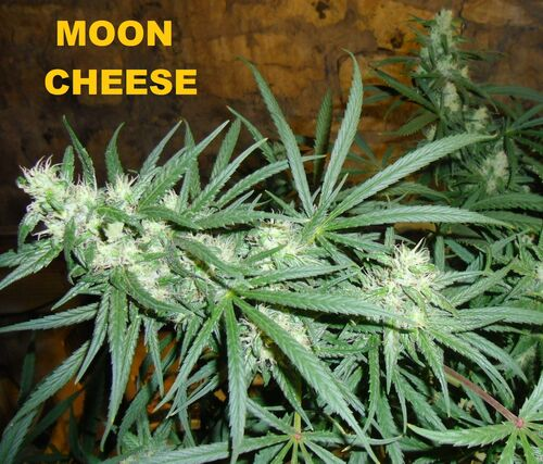Moon cheese 005