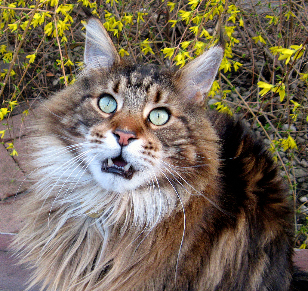 Maine Coon | Cats Wiki | FANDOM powered by Wikia