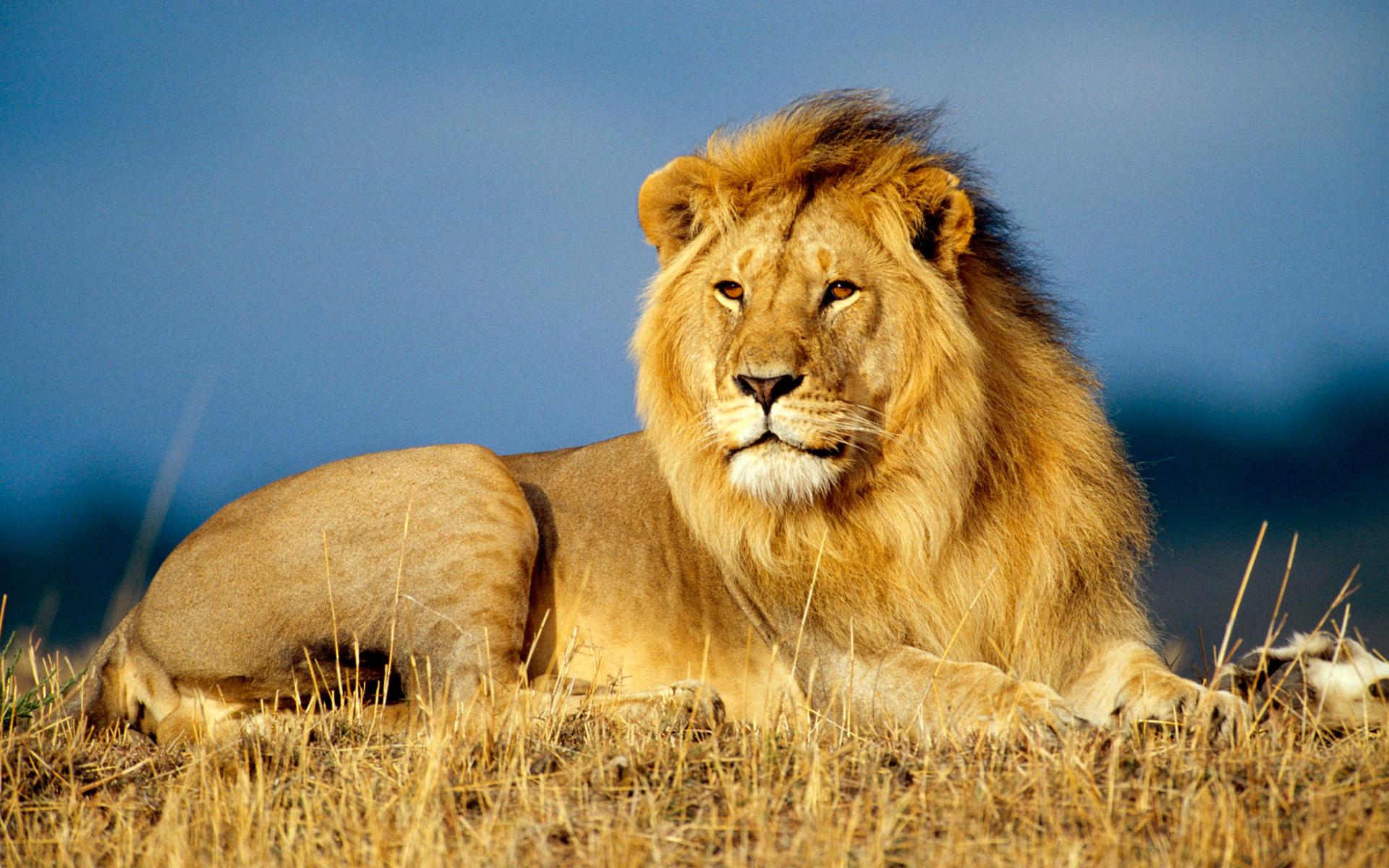 lion cats wiki fandom powered by wikia