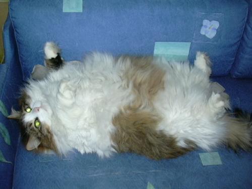 Удаление колтунов у кошек: как делать это правильно?