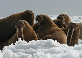 File:Walrus Family.jpg