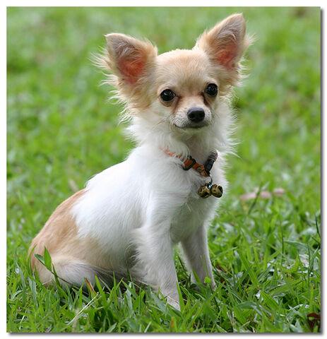 File:Modern-Day-Chihuahua.jpg