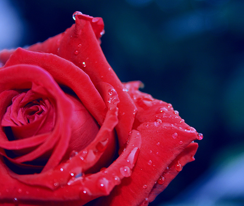 File:Rosedrops.jpg