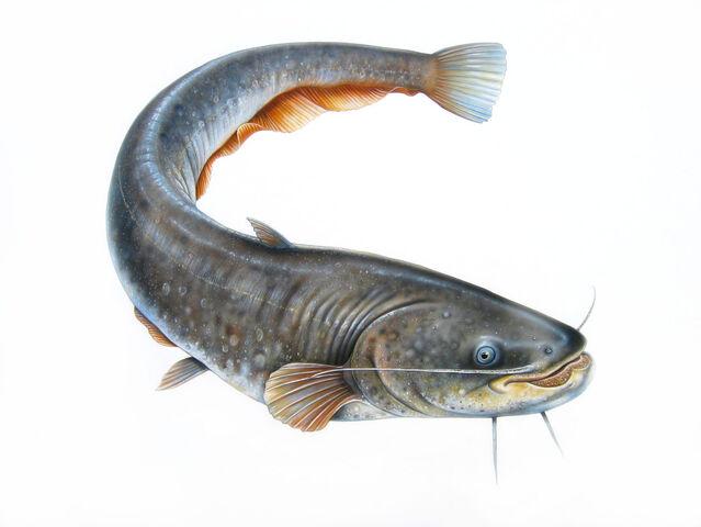 File:Catfish.jpg