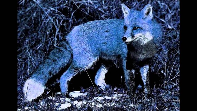 File:Midnight fox.jpg
