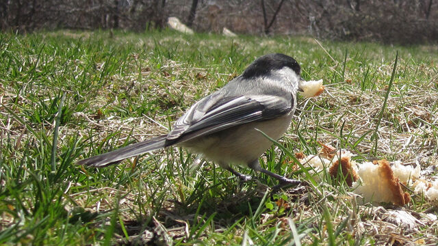 File:Chickadee Motion Detected Bird.jpg