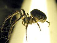 Ma spider1 tsan