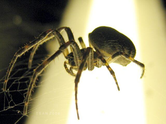 File:Ma spider1 tsan.JPG