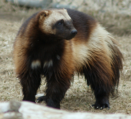 Image - Wild Animal Wolverine HD Photos 3.jpeg