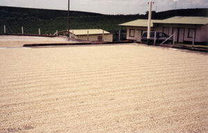 Coffee Drying on concrete Patio