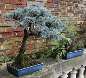 Filoli+Bonsai+spruce-8705