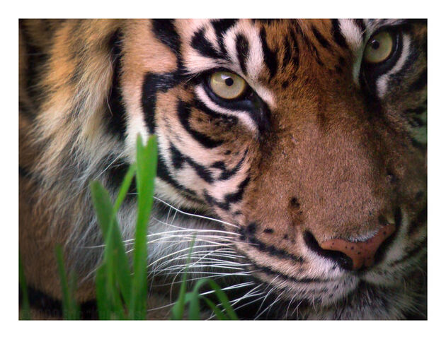 File:Eyes of the Forest by HeWhoWalksWithTigers.jpg