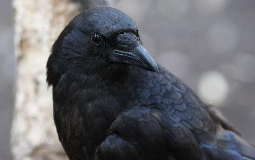 File:Crows2.jpg