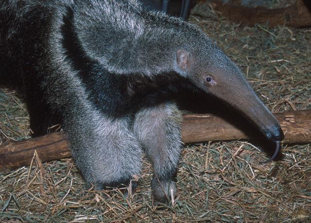 File:Anteater tongue.jpg