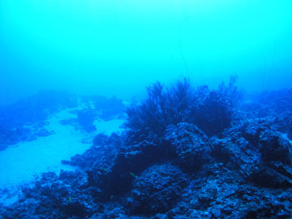 File:South kona blackcoral 600.jpg