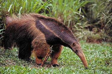 File:Giant-anteater-4059.jpg