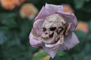 File:Weird wilted flower by clandestinebatheart1-d469nh2.png