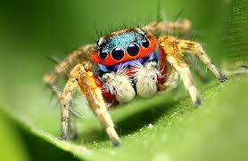File:JumpingSpider.png