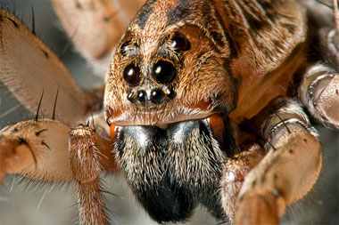 File:Carolina-wolfspider1.jpg