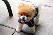 Boo-The-Dog