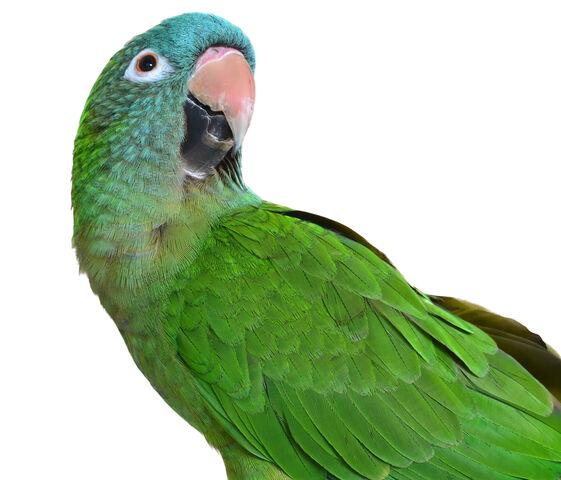 File:Beautiful Blue Crown Conure Parrot.293225410 large.jpg
