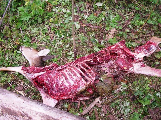 File:Dogman reported deer02.jpg