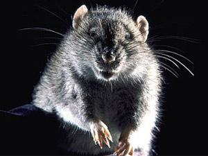 File:Scary rat.jpg