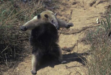File:71814 anteater.jpg