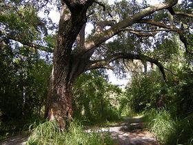 Schaefer tree