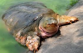 Legendary turtle sunbathes