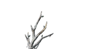Witchtree Branch