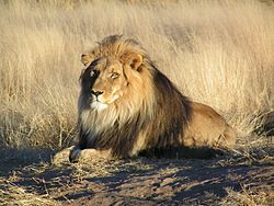 250px-Lion waiting in Namibia