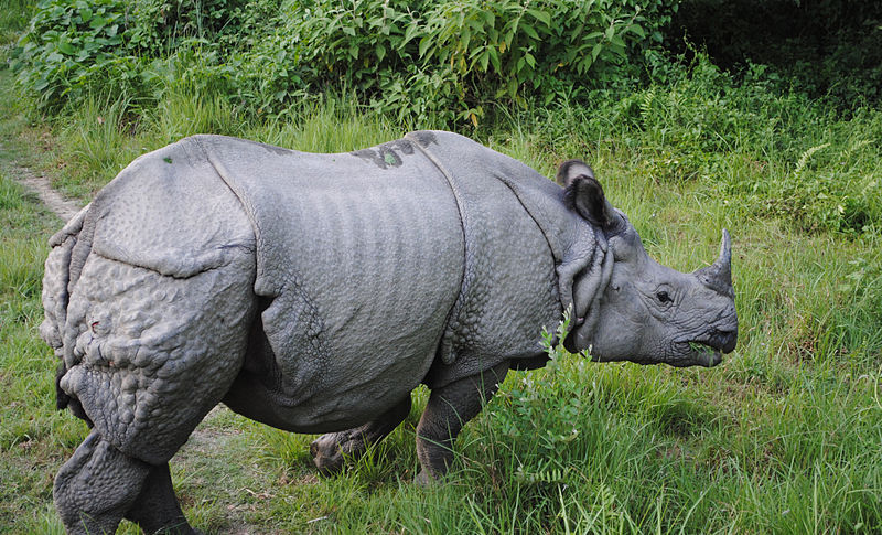 Indian Rhinoceros | Deadliest Beasts Wiki | Fandom powered by Wikia