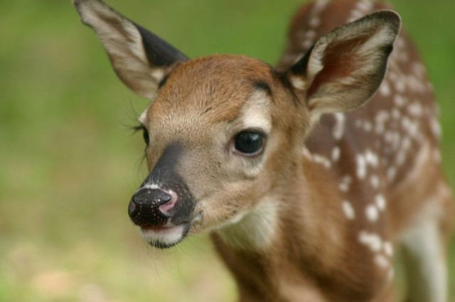 File:Real life bambi.jpg