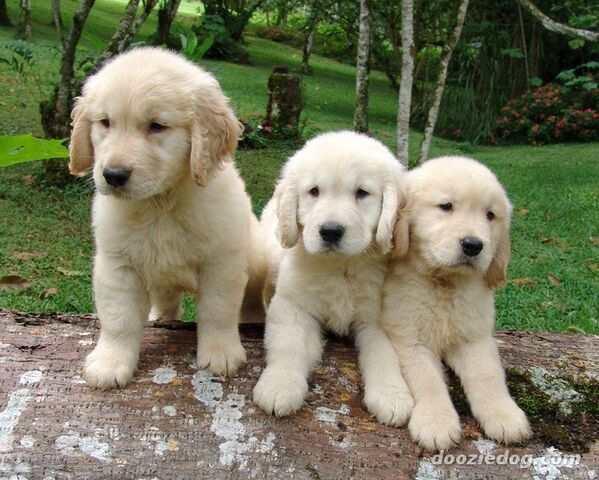 File:American golden retriever puppies.jpg