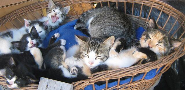 File:Kendall, stripes, and mollys first batch of kittens.jpg