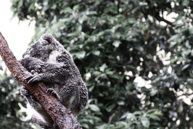 File:Koala1.jpg