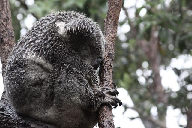 File:Koala4.jpg