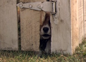 File:104 beagle.jpg
