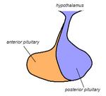 Pituitary gland representation