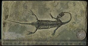 800px-Keichousaurus fossil with scale