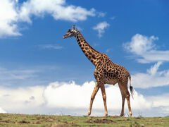 Photos-of-Giraffe.jpg