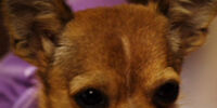 Lala (Chihuahua)