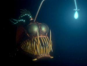 File:Anglerfish.jpg