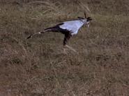 35. Secretary Bird