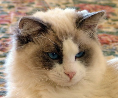 File:Ragdoll cat 2.jpg